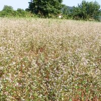 sovescio agricoltura biologica