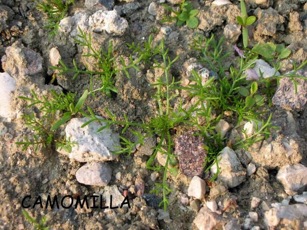 biolcalenda-febbraio-2014-matricaria-chamomilla-michieletto