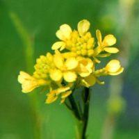floriterapia-mustard