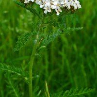 achillea-erbe-popolari-biolcalenda-luglio-agosto2015