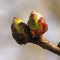 chestnut-bud rid