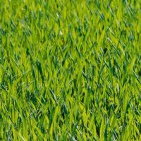 Il sovescio rappresenta una pratica importante a garantire un terreno sano