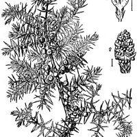juniper-communis