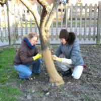 Applicazione della pasta per tronchi durante il corso di biodinamica presso l'Associazione La Biolca