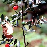 piante-popolari-pungitopo