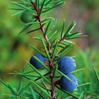 ginepro-piante-popolari-biolcalenda-febbraio-2014