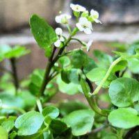 nasturtium-officinalis