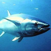 tonno-mare