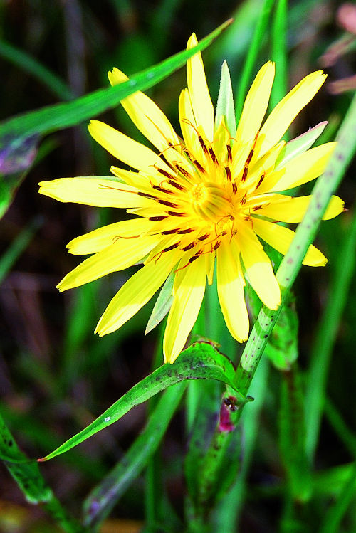 tragopogo-erbe-popolari-biolcalenda-maggio-2014 rid