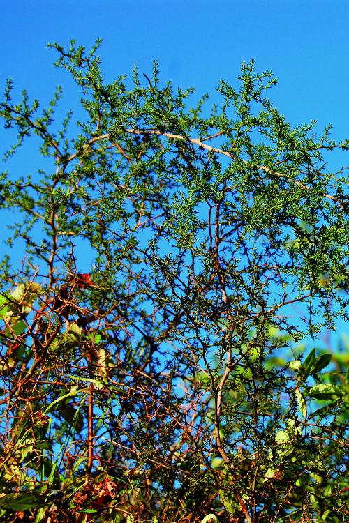 asparago-selvatico-erbe-popolari-biolcalenda-aprile2015