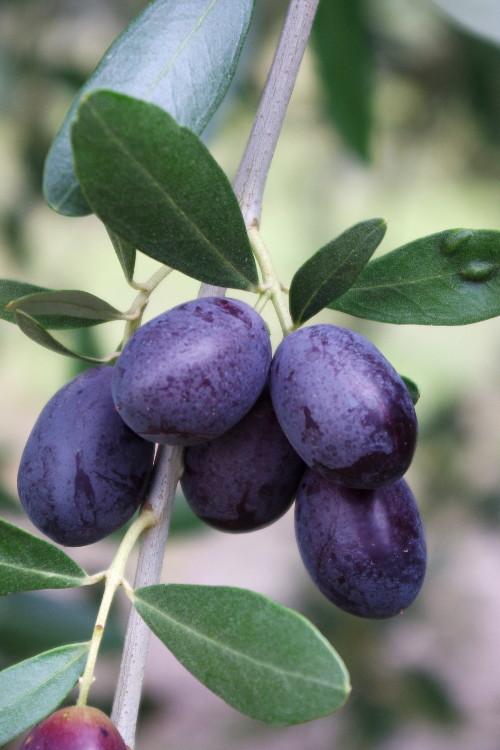 olivo-erbe-popolari-biolcalenda-novembre2015