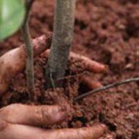L'inzaffardatura delle radici