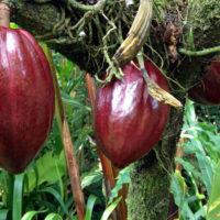 Il cacao - Biolcalenda di Dicembre 2018
