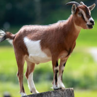 L'uso del letame sancisce un legame ecologico tra animali, piante e uomo per il quale l'agricoltura diviene sostenibile