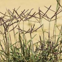 Come controllare la proliferazione della gramigna (Cynodon dactylon)